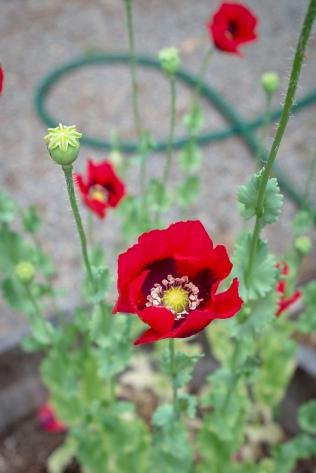 Mendocino poppies