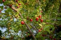 We've got wild plums, too!