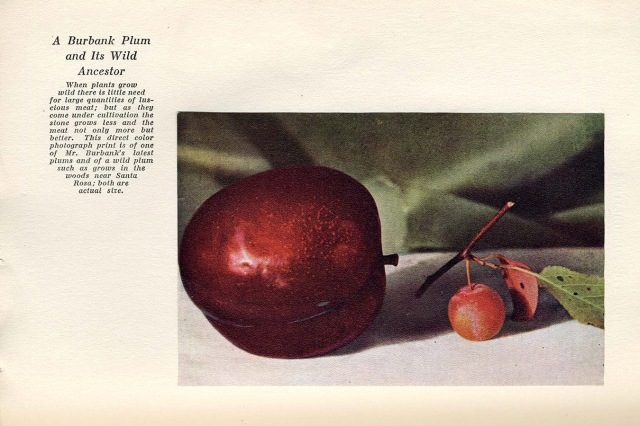 C1-volI-p273-wild-and-cultivated-plums-V2
